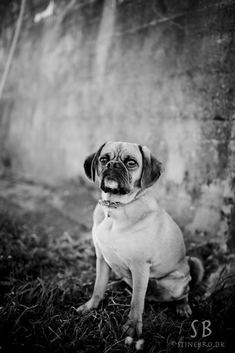 hundefotograf-aalborg